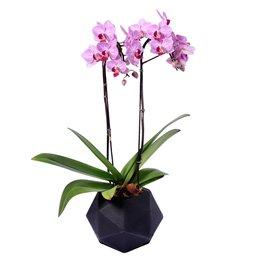 Orquidea Mini Phalaenopsis Lilás Quartzo