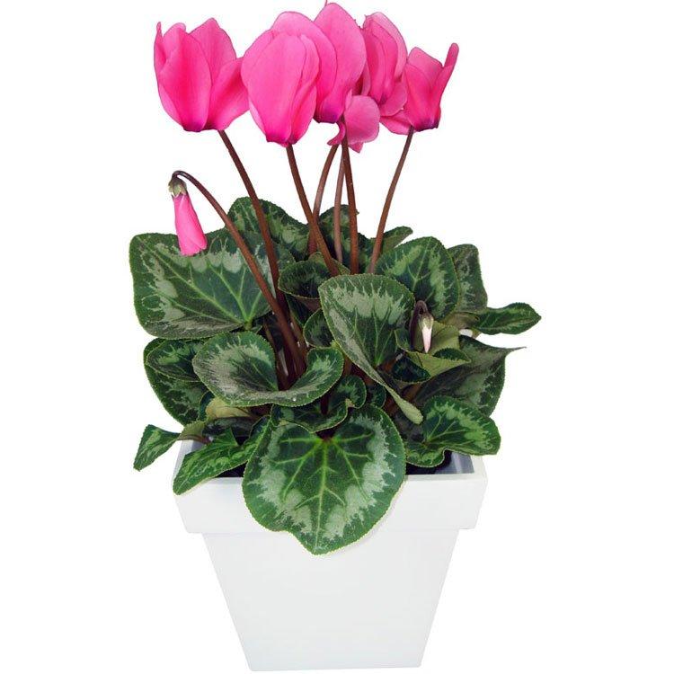 Ciclame Pink