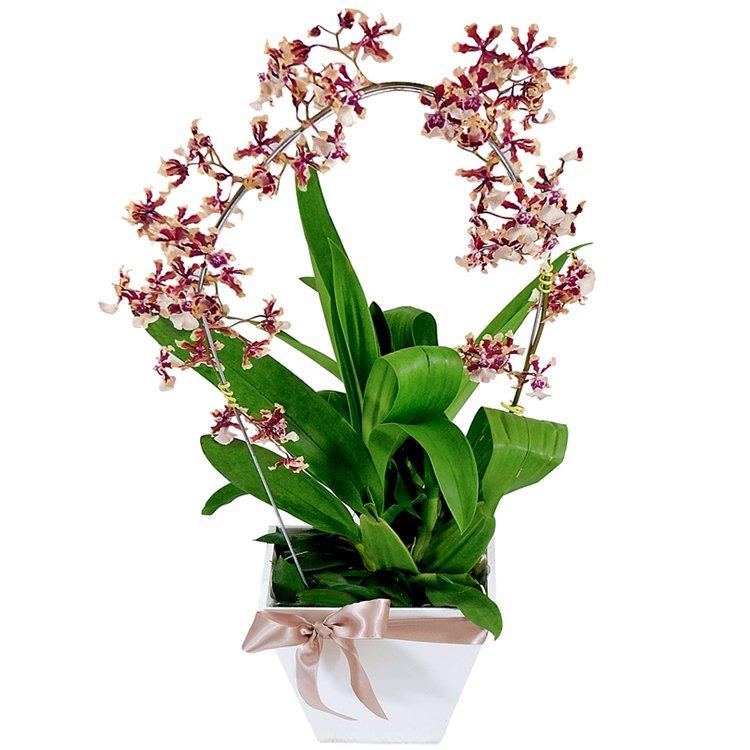 Orquídea Plantada Chocolate