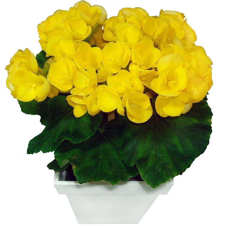 Begônia Amarela Presente